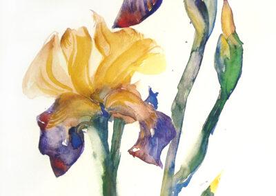Iris 29x41 cm